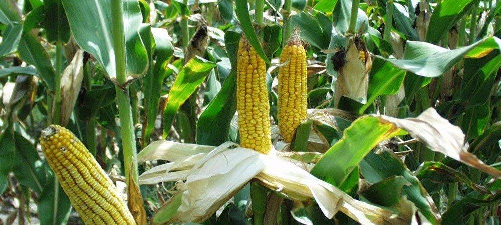 maïs-1000x450